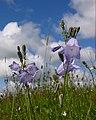 Bluebells on open pasture - geograph.org.uk - 509358.jpg