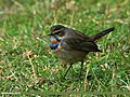 Bluethroat (Luscinia svecica) (21956256813).jpg