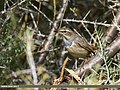 Bluethroat (Luscinia svecica) (37094924363).jpg