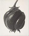 Blumenbachia hieronymi MET DP153196.jpg