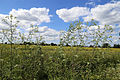 Bobbingworth, Essex, England - field off Gainsthorpe Road 05.JPG
