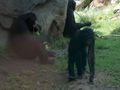 Bonobos01.jpeg