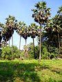 Borassus flabellifer in Mumbai, India.JPG