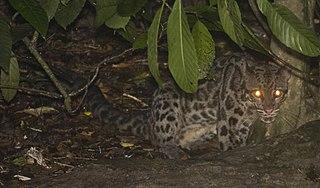 Sunda clouded leopard species of medium-sized wild cat