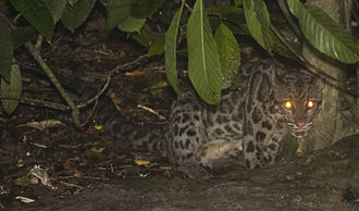 Sunda clouded leopard - Sunda clouded leopard in lower Kinabatangan River, eastern Sabah, Malaysia