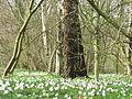 Bosanemonen (Anemone nemorosa) - Dr. Jac. P. Thijssepark - Amstelveen (5558829500).jpg