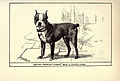 Boston Terrier BDL.jpg