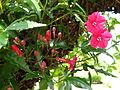 Botanical Garden of Peradeniya 45.JPG