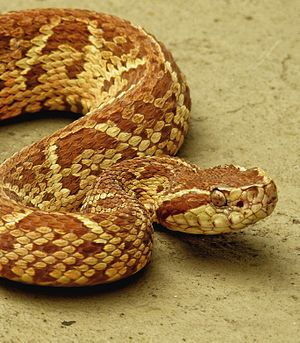 Bothrops jararacussu.jpg