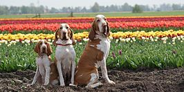 Bracco italiano's in Zuidermeer