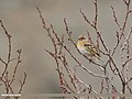 Brambling (Fringilla montifringilla) (50720119911).jpg