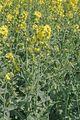 Brassica napus 3.jpg