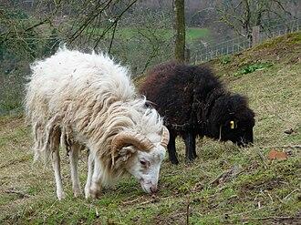 Ushant - Ouessant sheep
