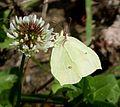 Brimstone. Gonepteryx rhamni. Female - Flickr - gailhampshire.jpg