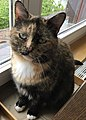 Brindled Domestic Short-haired Cat.jpg