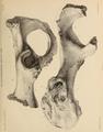 British Pleistocene Mammalia (1866) Cave Hyena Pelvis.png