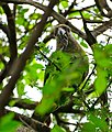 Brown-headed Parrot (Poicephalus cryptoxanthus) eating small fruit ... (33445931356).jpg
