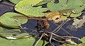 Brown Hawker Dragonfly 1 (3877792513).jpg