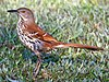 A brown bird with speckled eyes sits on the grass.