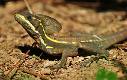Brown basilisk on sand.jpg