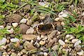 Brown butterfly with eyes (28516865222).jpg