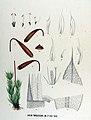 Bryum torquescens — Flora Batava — Volume v17.jpg