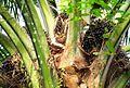 Buah kelapa sawit (6).JPG