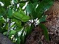 Buchanania axillaris (Cuddapah Almond) 06.jpg