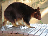 Buergers' Tree-kangaroo, Dendrolagus goodfellowi redeye correction.jpg