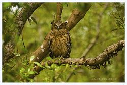 Buffy Fish Owl at Sundarban Tiger Reserve.jpg