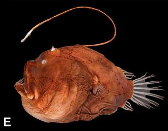 Bioluminescence - A deep sea anglerfish, Bufoceratias wedli, showing the esca (lure)