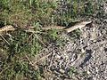Bullsnake mating.jpg