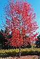 Burst of Red, Oak Glen, CA 11-8-14 (15588879729).jpg