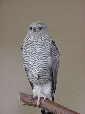 Buteo - The gray-lined hawk (Buteo nitidus) has distinct coloration but otherwise is a normal buteo.