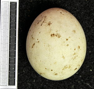 Rough-legged buzzard - Egg, Collection Museum Wiesbaden
