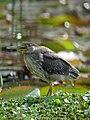 Butorides striata Garcita rayada Striated Heron (juvenile) (11328921015).jpg