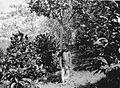 COLLECTIE TROPENMUSEUM Man bij boom op de tuinweg in de Liberia-koffietuin 'B' van 1895 96 op de cultuurondernemening Way-Lima Lampongse Districten Zuid-Sumatra. TMnr 60013367.jpg