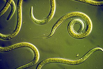 CSIRO ScienceImage 2818 Group of Nematodes