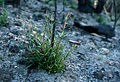 CSIRO ScienceImage 2976 The Mountain Devil Lambertia formosa shrub regenerating from lignotubers.jpg