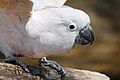 Cacatua moluccensis -Cincinnati Zoo, Ohio, USA -upper body-8a (1).jpg