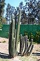 Cactus in San Juan de Aragón 1.jpg