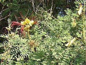 John Gillies (botanist) - Caesalpinia gilliesii