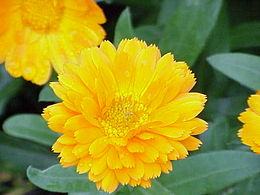 Calendula officinalis1.jpg