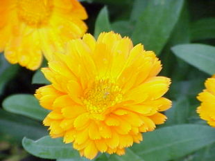 Have-Morgenfrue (Calendula officinalis).