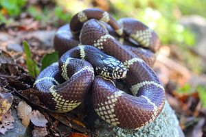 California kingsnake - Image: California Kingsnake (Lampropeltis getula californiae)