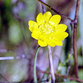 California buttercup.jpg