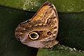 Caligo eurilochus - Schmetterlingshaus Wien.jpg