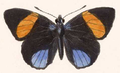 Callicore guatemalena (upperside).png