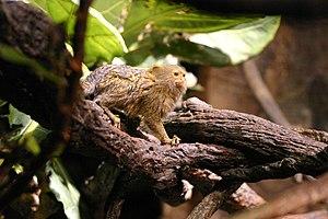 Pygmy marmoset - The pygmy marmoset is the world's smallest monkey.