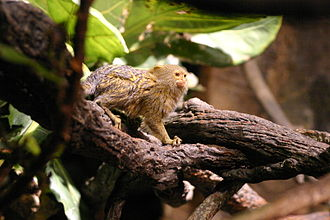 Pygmy marmoset - The pygmy marmoset is the world's smallest monkey.